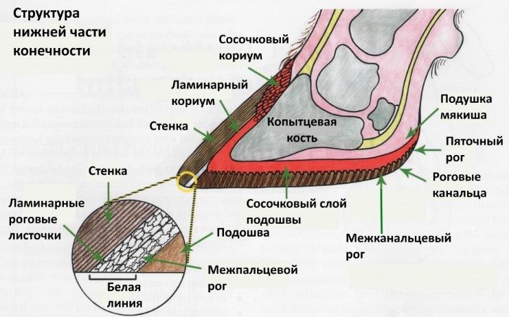 Структура нижней части конечности