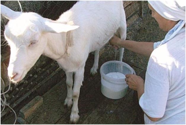 Процесс доения козы