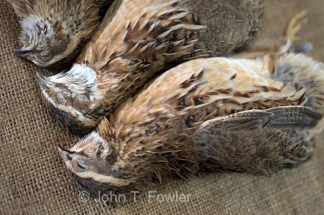 Птичья холера неизлечима