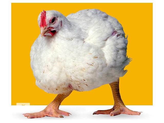 Этот цыпленок употреблял корм с подкислителями