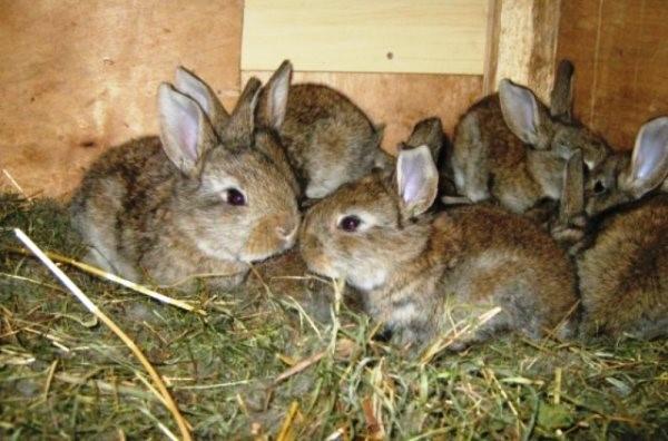 Профилактика заболевания состоит в комфортном содержании крольчат