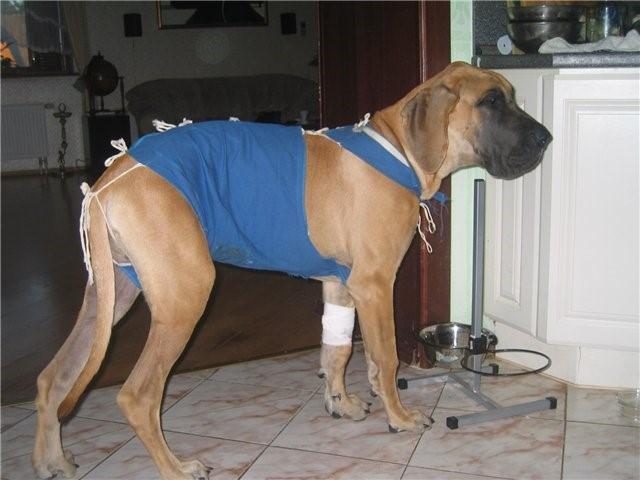 Цефтриаксон применяют собакам при профилактике постоперационных осложнений