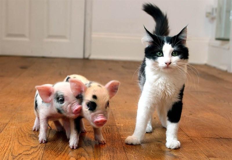 Цефтриаксон назначают кошкам и декоративным свиньям