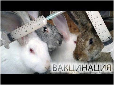 Вакцинация кроликам