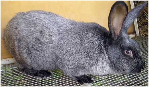 Кролик после прививки