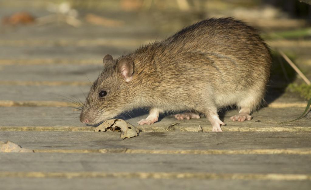 Крыса - разносчик листериоза