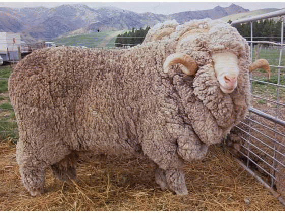 Овца перед стрижкой