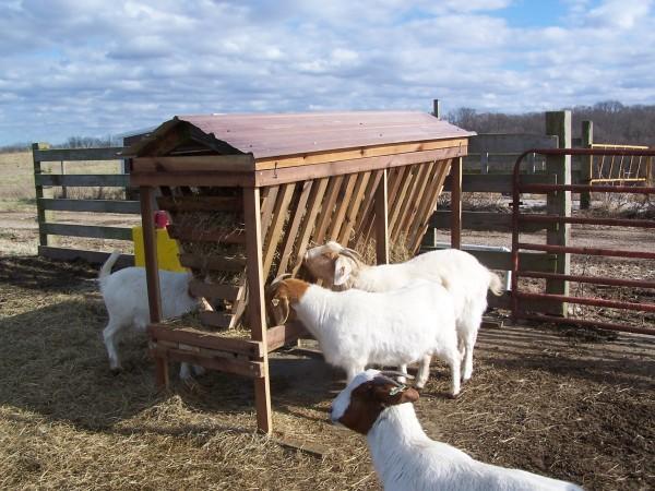 Кормление овец на свежем воздухе