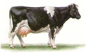Корова черно-пестрой породы