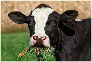 Свежий корм для коровы