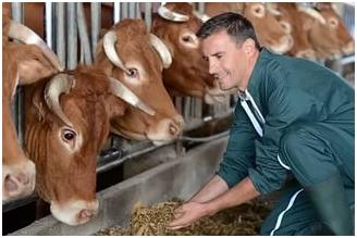 Кормежка коров