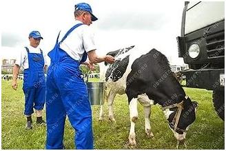 Купание коров