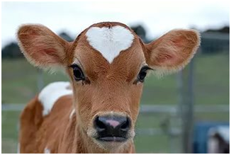 Молодой теленок