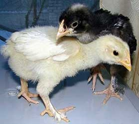 Мехеленские цыплята
