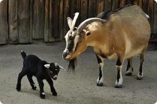 Камерунская коза с козленком