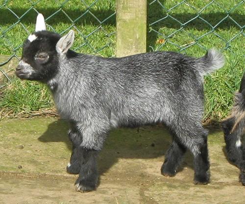 Нигерийский козленок