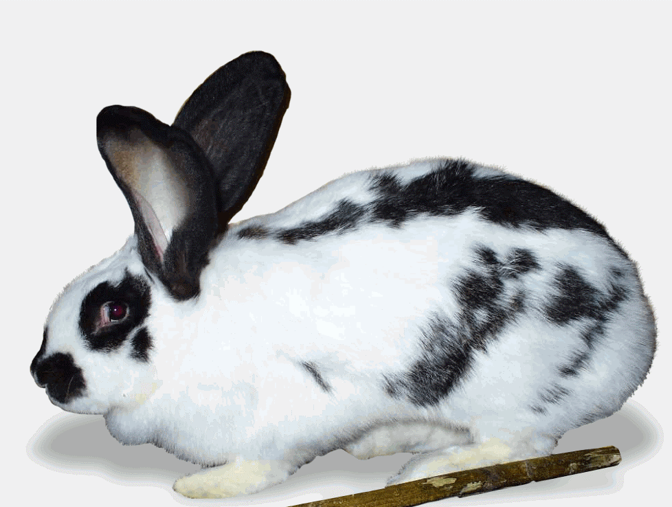 Кролик-строкач