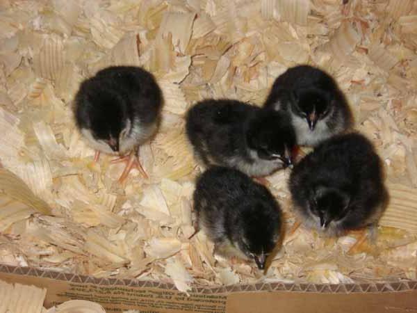 Цыплята мараны