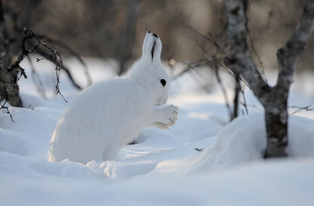 Дикий заяц