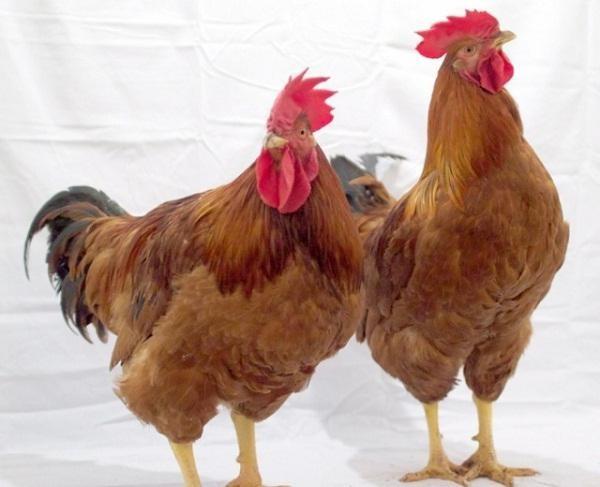 Курица и петух редбро