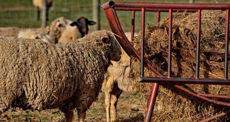 Кормление овец сеном