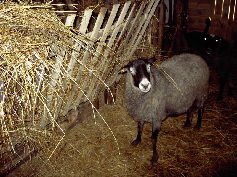 Кормление овец при кошарном содержании