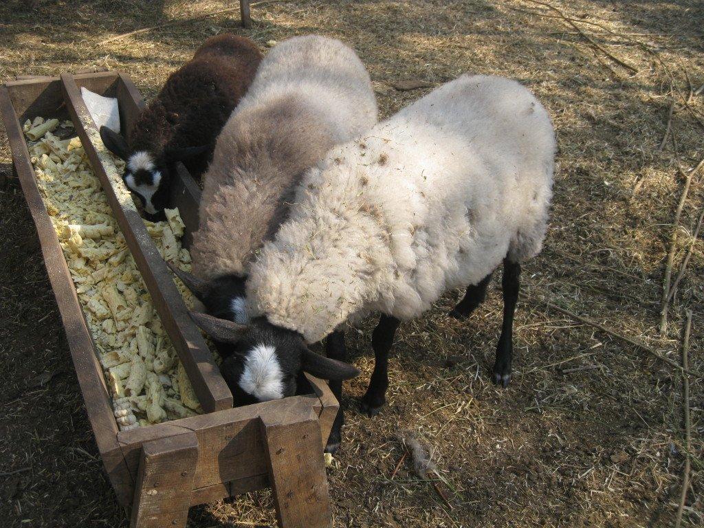 Докармливание овец в пастбищный период