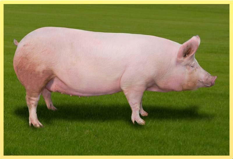 Свиноматка на пастбище
