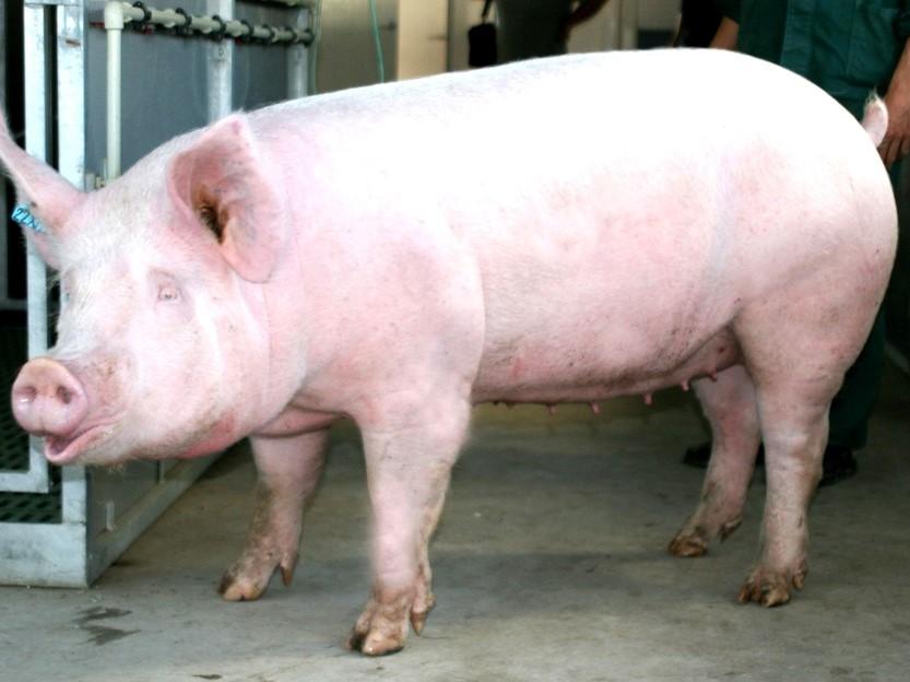 Свиноматка в свинарнике