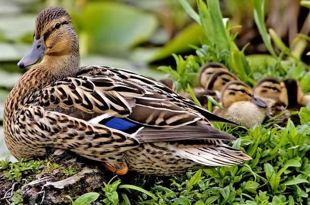 Утка кряква с потомством
