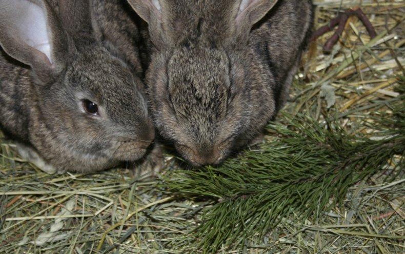 Хвойные ветки в рационе кролика