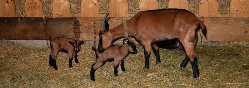 Альпийская коза с козлятами