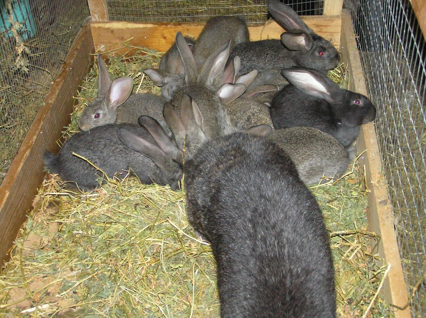 Крольчата ризены