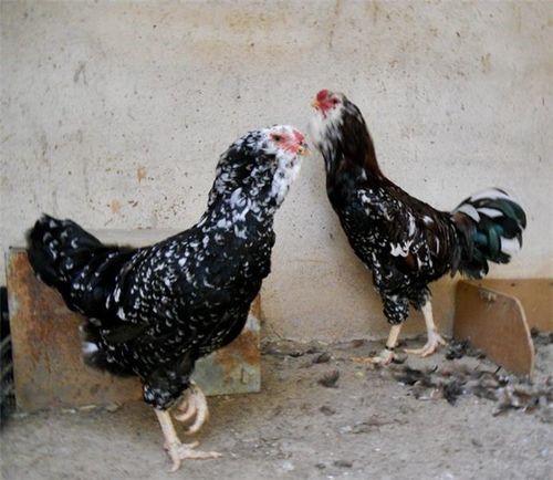 Орловские красно-черные куры