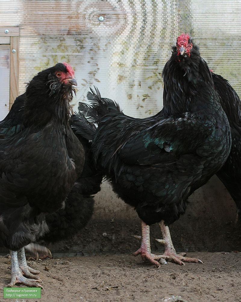 Черная орловская