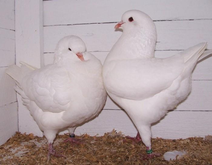 Мясные голуби кинг