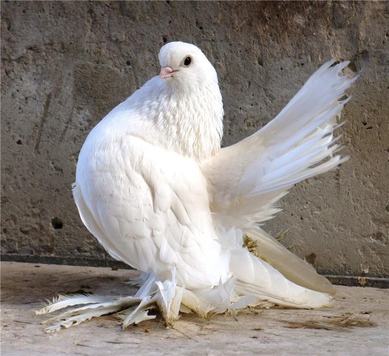 Мясной голубь
