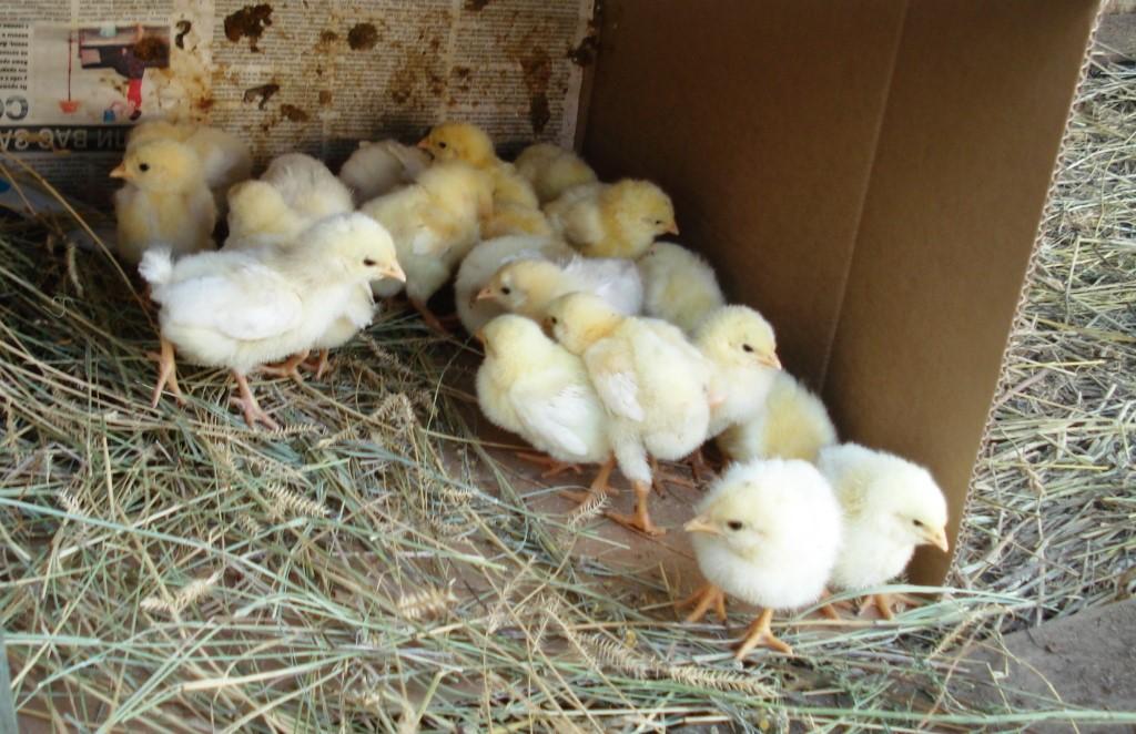 Цыплята породы родонит в курятнике
