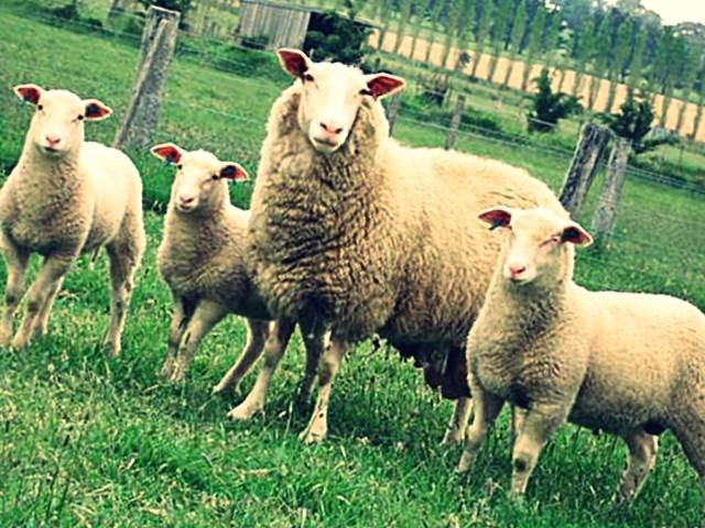 Молочная овца с ягнятами