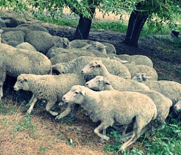 Цигайские овечки