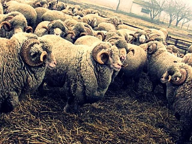 Стадо асканийских овец