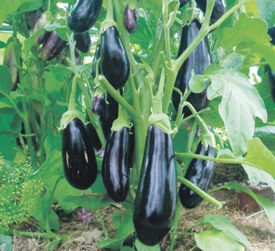 Баклажаны – один из любимых овощей нашего населения