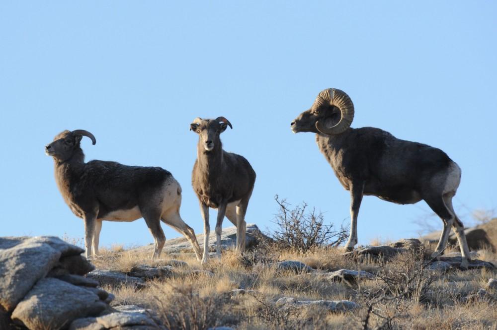 Алтайсакие бараны в дикой природе