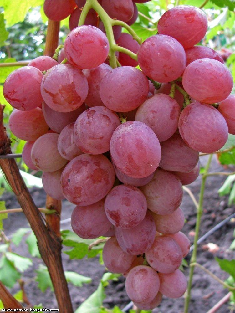Спелая гроздь сорта «Анюта»