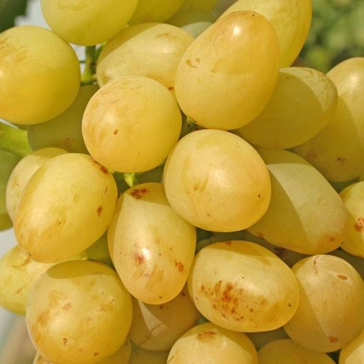 Белый крупный виноград «аркадия»