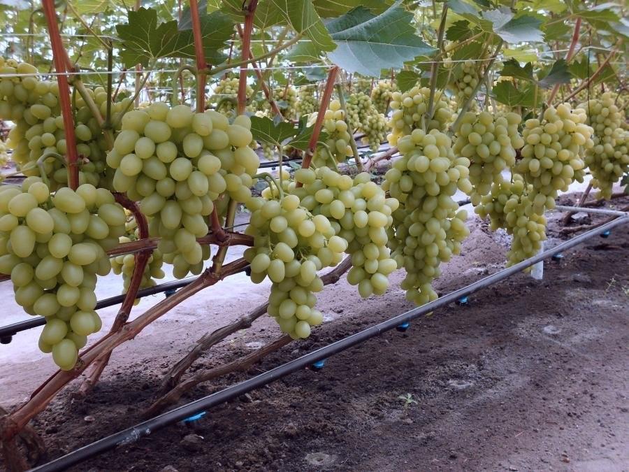 Неприхотливый в содержании виноград «аркадия»