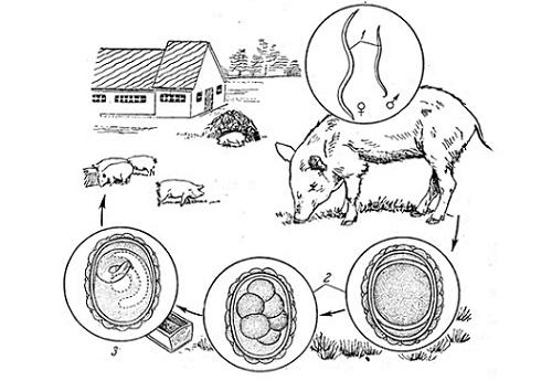 Заражение свиней аскаридами