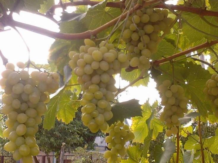 Спелые гроздья сорта «Августин» на лозе