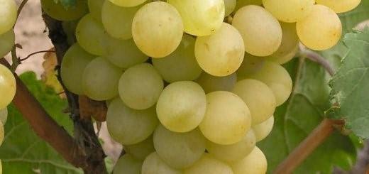 Ягоды винограда «Августин» накапливают сахар в любую погоду