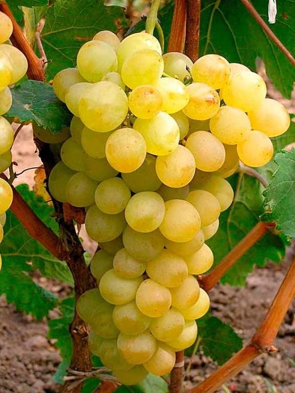 Коническая гроздь сорта «Августин»